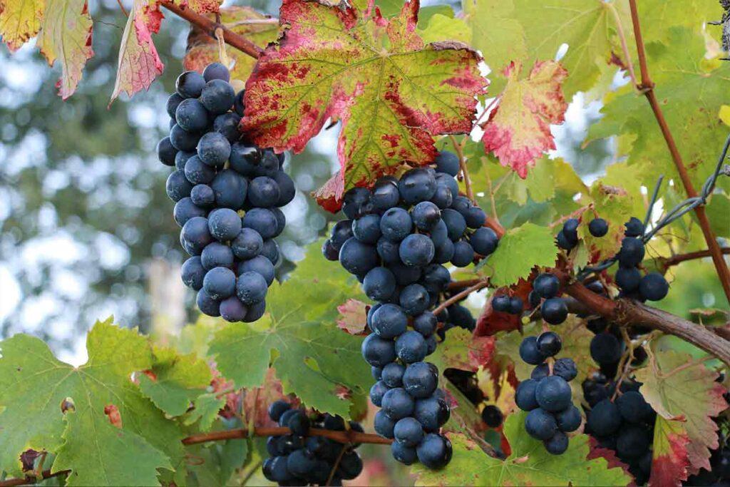 Il vino Taurasi DOCG: storia e produzione in Irpinia