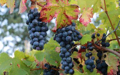 Un viaggio tra i vini d'Irpinia: il vino Taurasi DOCG