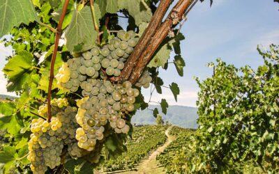 La storia del Fiano di Avellino DOCG: vino intenso ed elegante
